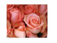 Fresh Cut Roses PREMIUM quality
