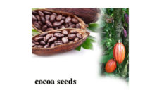 Cocoa seeds