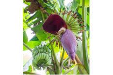 Sri Lankan Banana flowers