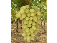 Uva da Tavola varietà Vittoria in cassa da 8 kg