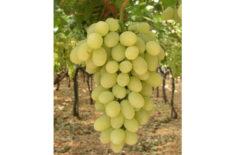 """""""Vittoria"""" Grapes in 8kgs crates."""